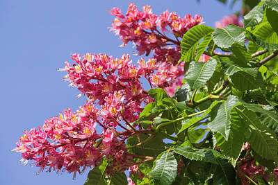 Photograph - Red Horsechestnut Blooms 02 by Teresa Mucha