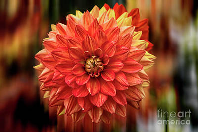 Photograph - Red Hot Dahlia by Kasia Bitner