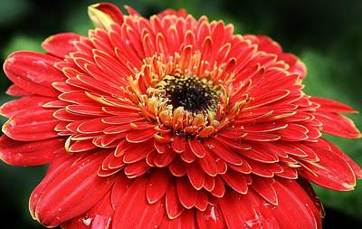 Photograph - Red Hot Gerbera Daisy by Bruce Bley