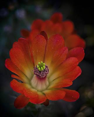 Photograph - Red Hot Hedgehog Cactus  by Saija Lehtonen