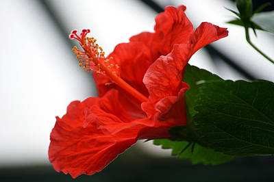 Red Hot Hibiscus. Original