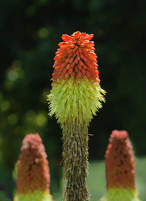 Photograph - Red Hot Poker by Rick Mosher