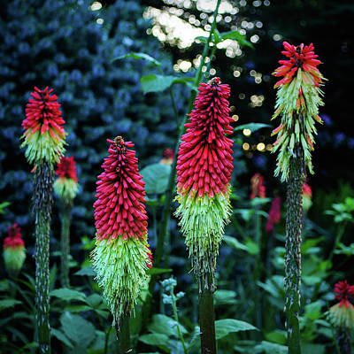 Photograph - Red Hot Pokers by Tikvah's Hope
