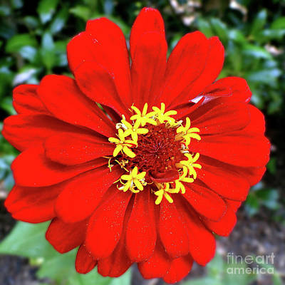 Photograph - Red Hot Zinnia by Sue Melvin