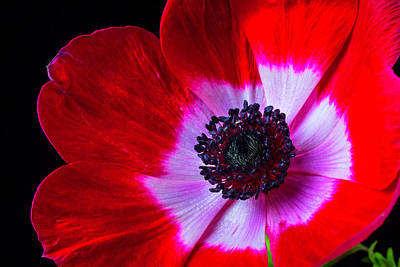 Tropical Garden Photograph - Red Iceland Poppy by Garry Gay