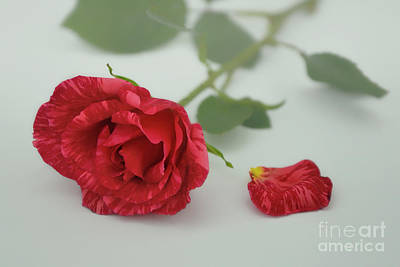 Photograph - Red Intuition Rose by Olga Hamilton