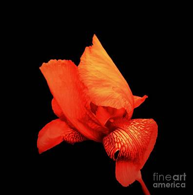 Photograph - Red Iris by Rachel Hannah