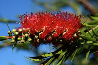 Photograph - Red Bottlebrush Flower by Aidan Moran