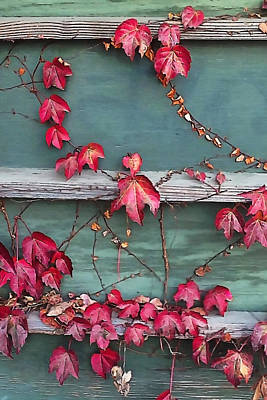 Photograph - Red Ivy by Art Block Collections