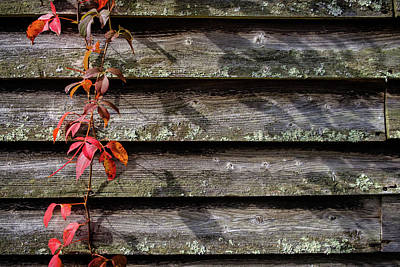 Photograph - Red Ivy by Glenn DiPaola