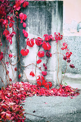 Print featuring the photograph Red Ivy Leaves by Silvia Ganora
