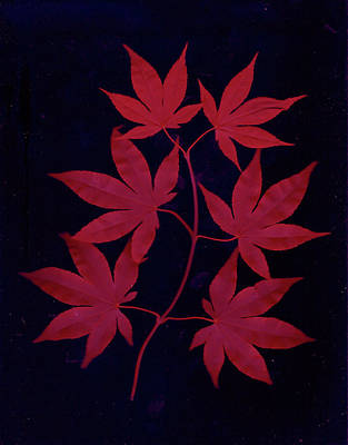Photograph - red Japanese Maple leaves  by Wayne Potrafka