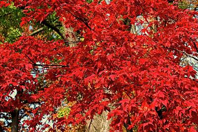 Photograph - Red Japanese Maple by Michiale Schneider
