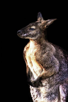 Hop Photograph - Red Kangaroo by Martin Newman