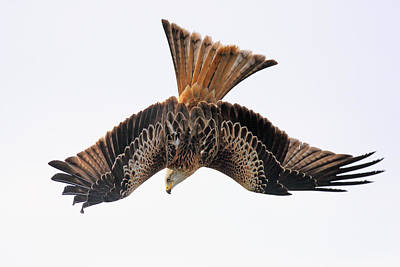 Photograph - Red Kite Bird Of Prey In Flight by Grant Glendinning