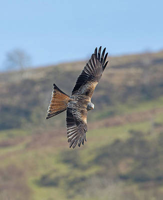 Photograph - Red Kite by Peter Walkden