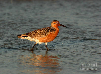 Photograph - Red Knot In Breeding Colors by John F Tsumas