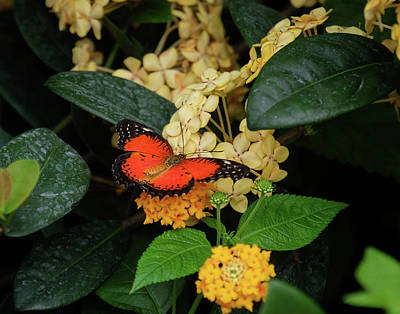 Photograph - Red Lacewing Butterfly by Ronda Ryan