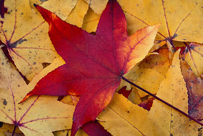 Art Print featuring the photograph Red Leaf by Chevy Fleet