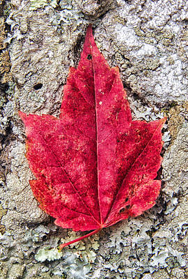 Dan Beauvais Photos - Red Leaf, Lichen 8797 by Dan Beauvais