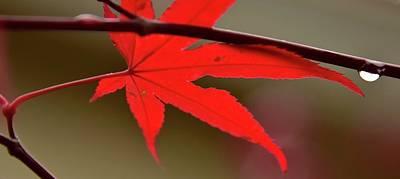 Photograph - Red Leaf Rain Drop by Jerry Sodorff