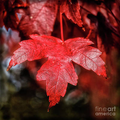 Photograph - Red Leaf by Robert Bales