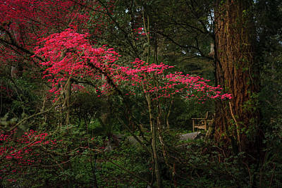 Achieving Royalty Free Images - Red leafed tree Royalty-Free Image by Mike Penney
