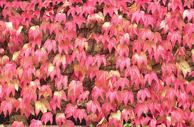 Photograph - Red Leafs by Cliff Norton