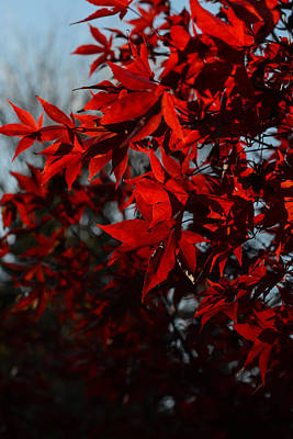 Photograph - Red Leaves 3 by Ronda Broatch