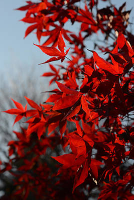 Photograph - Red Leaves 4 by Ronda Broatch