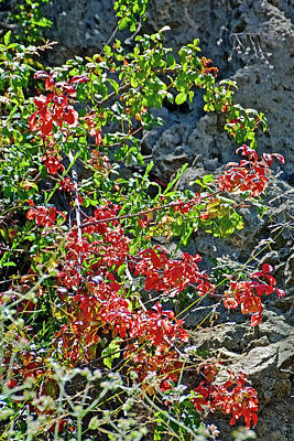 Photograph - Red Leaves Along Glendora Ridge Road In San Gabriel Mountains, California  by Ruth Hager