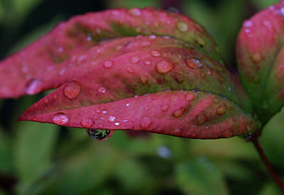 Photograph - Red Leaves And Raindrops by Judy Vincent