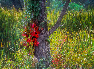 Photograph - Red Leaves And Vines On Tree In Forest Of Reeds by John Brink