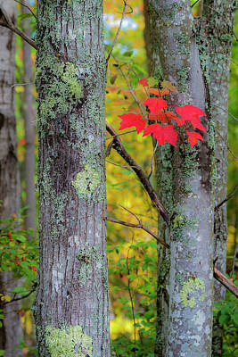 Photograph - Red Leaves by Gary Lengyel