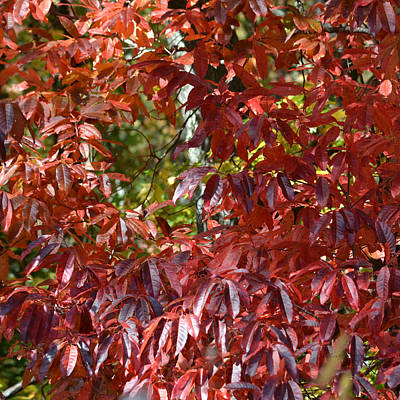 Photograph - Red Leaves Of Sourwood Tree by rd Erickson