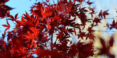 Photograph - Red Leaves by Ronda Broatch