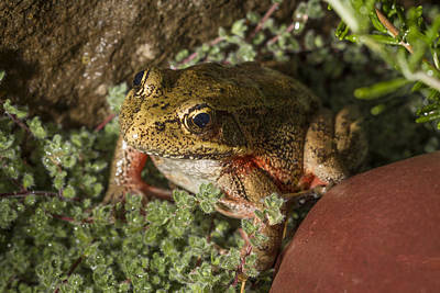Photograph - Red Legged Frog by Jean Noren
