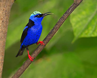 Photograph - Red-legged Honeycreeper by Tony Beck