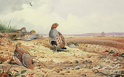 Scotland Painting - Red Legged Partridge by Carl Donner