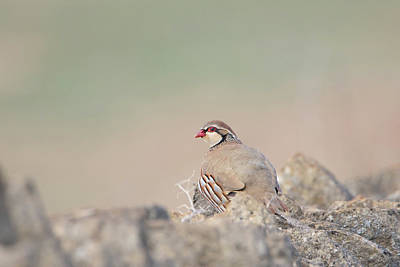 Photograph - Red-legged Partridge by Peter Walkden