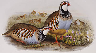 Wildlife Landscape Drawing - Red-legged Partridges by John Gould