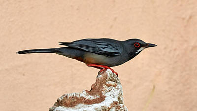 Photograph - Red-legged Thrush by David Beebe