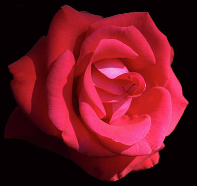 Red Let Freedom Ring Hybrid Tea Rose Close Up Art Print