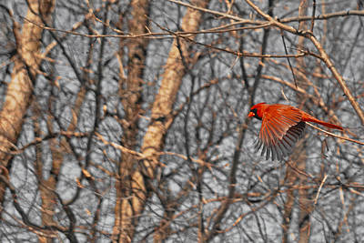 Red Like Cardinal In-flight Print by Asbed Iskedjian