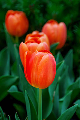 Calendar Photograph - Red Tulips by Az Jackson