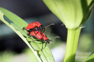 Photograph - Red Lily Beetles by Julia Gavin
