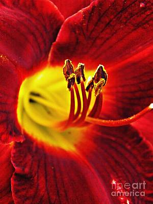 Lilies Royalty-Free and Rights-Managed Images - Red Lily Center by Sarah Loft