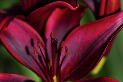 Photograph - Red Lily by Robert Potts