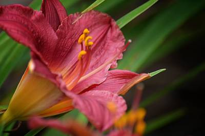 Photograph - Red Lily Sway by Maria Urso