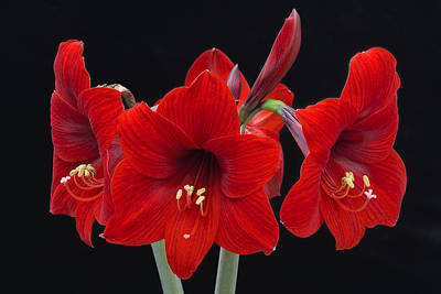 Photograph - Red Lion Amaryllis by Ken Barrett
